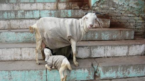 mouton inde