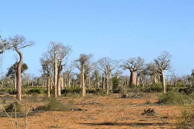 baobab ifaty