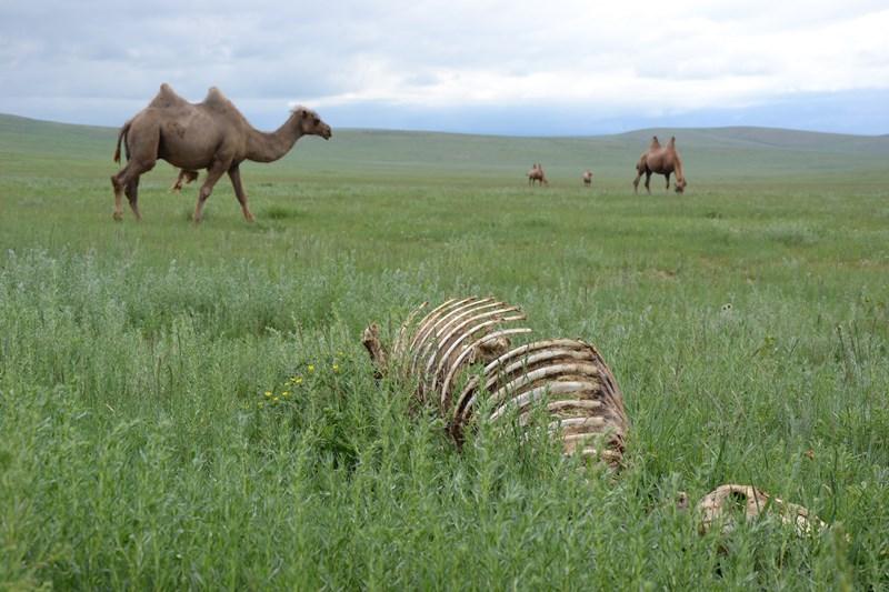 chameaux mongolie